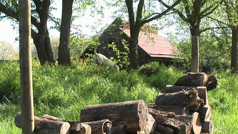 White dog walks through thick brush with a woodpile in... Stock Video Footage