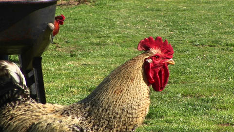 A rooster crows for the camera before following his hens... Stock Video Footage