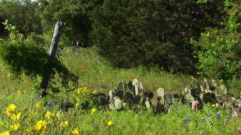 Medium-shot of a field with Texas Wildflowers and cacti Stock Video Footage