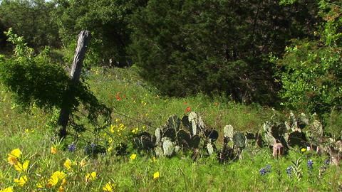 Medium-shot of a field with Texas Wildflowers and cacti Footage