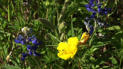 Close-up of yellow and blue Texas wildflowers Stock Video Footage