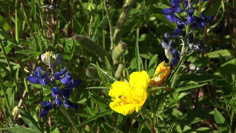 Close-up of yellow and blue Texas wildflowers Footage