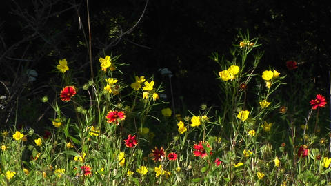 Medium-shot of red and yellow Texas wildflowers swaying in the breeze Footage