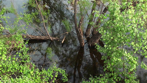 Medium-shot of a tree growing in a Texas swamp Footage