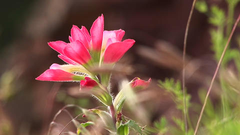 Close-up of a pink Texas wildflower Stock Video Footage