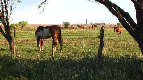 Medium-shot of horses grazing in a fenced pasture Stock Video Footage