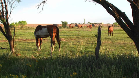 Medium-shot of horses grazing in a fenced pasture Footage