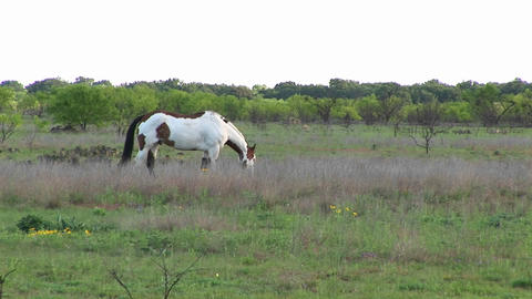 Medium-shot of a paint horse grazing in a field Footage