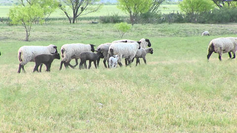 Following-shot of a flock of sheep Stock Video Footage