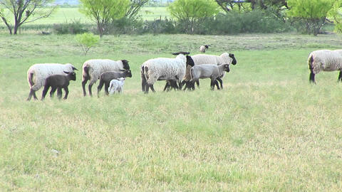 Following-shot of a flock of sheep Footage