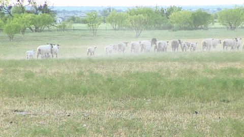 Long-shot of a flock of sheep walking across a plains area Footage