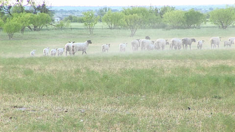 Long-shot of a flock of sheep walking across a plains area Stock Video Footage
