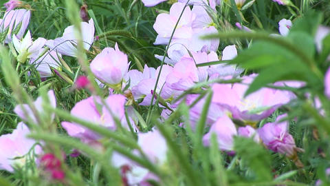 Close-up of pink and white Texas wildflowers moving in the breeze Footage