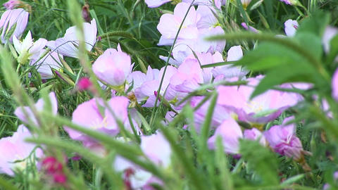 Close-up of pink and white Texas wildflowers moving in... Stock Video Footage