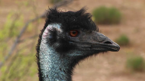 Close-up of an emu head as it looks around Stock Video Footage