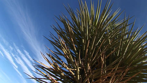 Close-up of a Joshua Tree standing in front of a blue sky Stock Video Footage