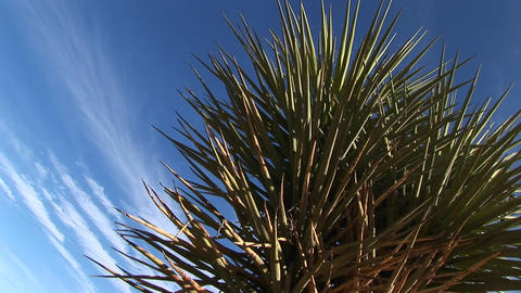 Close-up of a Joshua Tree standing in front of a blue sky Footage