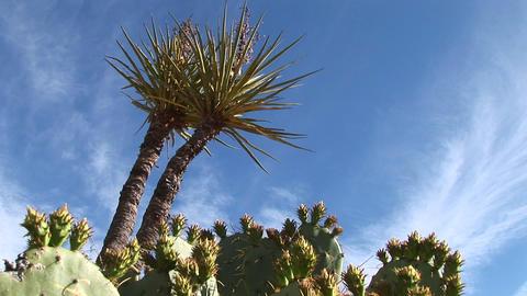 Medium shot of desert cacti Stock Video Footage