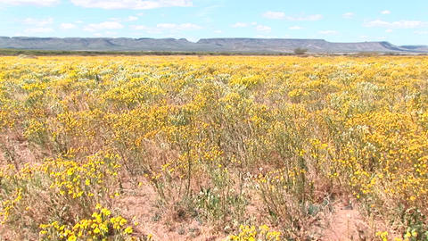 Pan-left shot of a field of yellow Texas wildflowers... Stock Video Footage