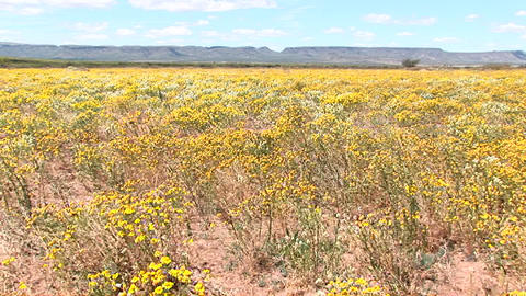 Pan-left shot of a field of yellow Texas wildflowers blowing in the wind Footage