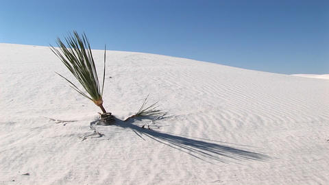 Medium shot of a plant at White Sands National Monument... Stock Video Footage