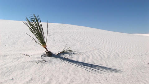 Medium shot of a plant at White Sands National Monument in New Mexico Footage