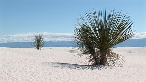 Medium shot of a yucca plant at White Sands National Monument in New Mexico Footage