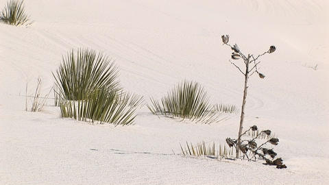 Medium shot of plants at White Sands National Monument in New Mexico Footage