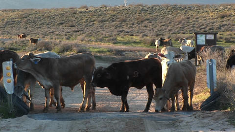 Medium shot of cattle stopped at cattleguard on a dirt road Footage