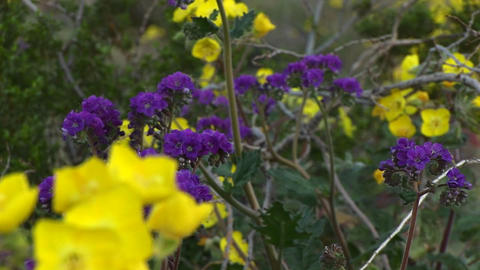 Close-up of wildflowers in Death Valley National Park in... Stock Video Footage