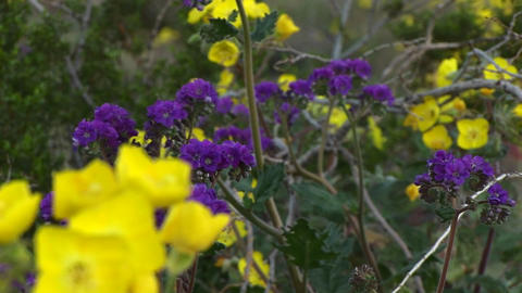 Close-up of wildflowers in Death Valley National Park in California Footage