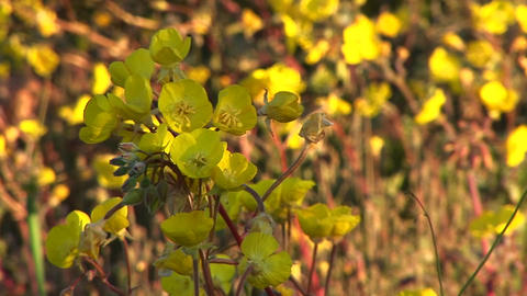 Close-up of yellow wildflowers blooming in Death Valley National Park Footage