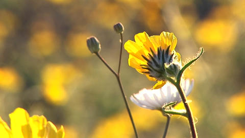 Close-up of wildflowers blooming in Death Valley National Park in California Footage