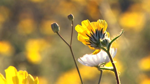 Close-up of wildflowers blooming in Death Valley National... Stock Video Footage