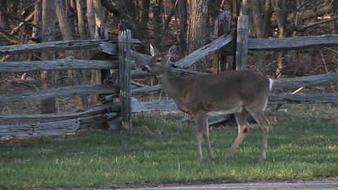 Medium shot of a female white-tail deer grazing next to a highway Footage