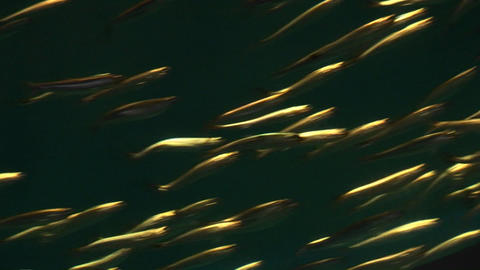 Underwater shot of a school of small fish swimming rapidly Footage