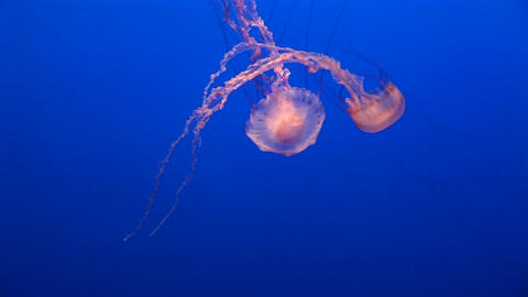 Underwater shot of two jelly-fish floating in the ocean Footage