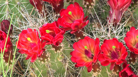 Close-up of blooming cactus in the Arizona desert Stock Video Footage