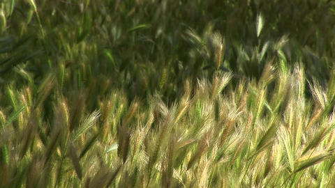 Close-up of wheat growing in Canyon De Chelly Stock Video Footage