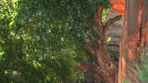 Close-up of trees releasing seeds near Moab, Utah Stock Video Footage