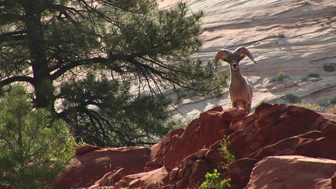 Medium shot of a desert Bighorn sheep atop a hill in Zion... Stock Video Footage