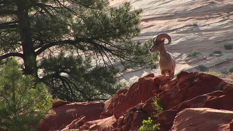 Medium shot of a desert Bighorn sheep atop a hill in Zion National Park Footage
