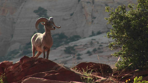 A bighorn sheep stands proudly on a cliff Stock Video Footage