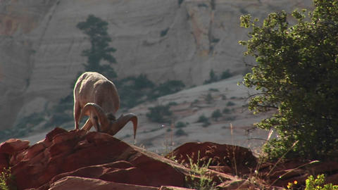 A bighorn sheep stands proudly on a cliff Footage