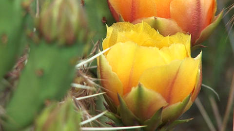 Close-up of a blooming desert cactus in Zion National Park Stock Video Footage