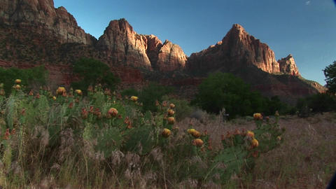 Medium shot of blooming desert cactus in Zion National Park Stock Video Footage