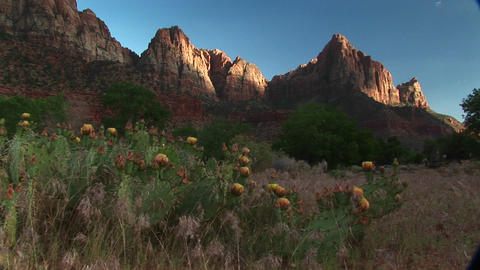 Medium shot of blooming desert cactus in Zion National Park Footage