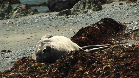 Medium-shot of a harbor seal sunning on a California beach Stock Video Footage