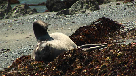 Medium-shot of a harbor seal sunning on a California beach Footage