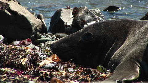 Close-up of a harbor seal's head resting on a California beach Footage